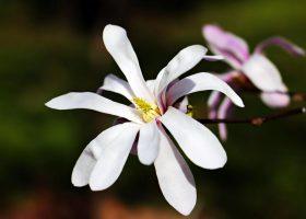 Star Magnolie